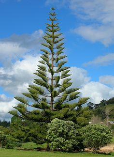 Norfolk Island Pine (Araucaria heterophylla) Saw lots of these in Galveston, TX. Wish they'd grow in Colorado!