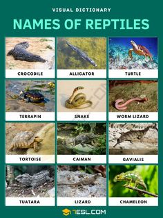 Reptiles Amphibians, Mammals, Reptiles Facts, Iguana Reptile, Classes Of Vertebrates, Eastern Box Turtle, Aquatic Turtles, Visual Dictionary