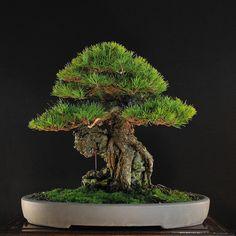 Japanese black pine by Suthin Sukosolvisit #bonsai #盆栽 #盆景 #bonsaitree #nature