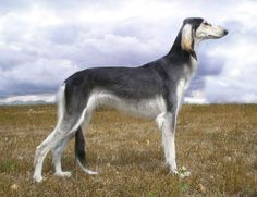 saluki | saluki cost $ 2500 the royal dog of egypt salukis are among the ...