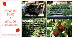 Learn how to build a wall of strawberries. An easy and fun DIY garden project for the whole family.