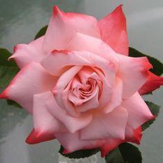 THORNLESS ROSE - DESTINY - Garden Express
