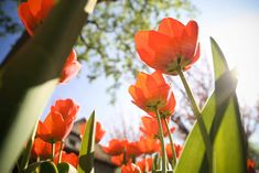Another Tulips from below Free Stock Photo Download