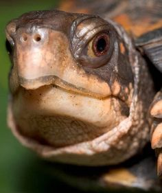 These sweet and fascinating pets can have surprisingly sensitive skin. Here's how to keep your box turtle healthy and happy. Tortoise House, Tortoise Turtle, Pet Turtle Care, Box Turtle Habitat, Sea Turtle Wallpaper, Kawaii Turtle, Eastern Box Turtle, Turtle Homes, Bearded Dragon Cute