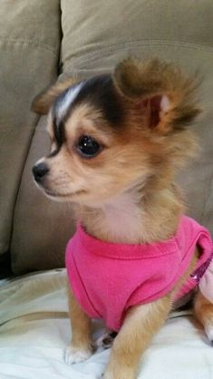 My baby girl koko. Precious chihuahua puppy! Love her so much Love Your Dog? Visit our website NOW! #chihuahuadaily #teacupdogs #teacupchihuahua-.-