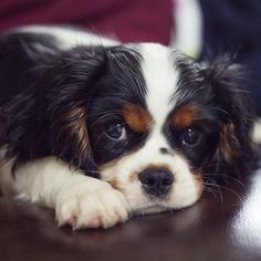Baileyboo the cav - Can't stop photographing our new love!