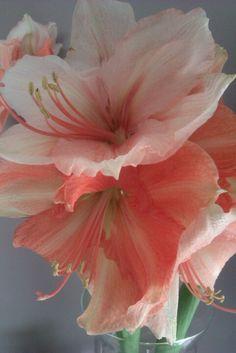 Pretty amaryllis flower  #amaryllis #bloem #flower