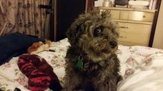 My Beautiful Berry the best little #schnoodle in the whole wide world!  Magical joyful playful and smart I ♡ HER SO!!