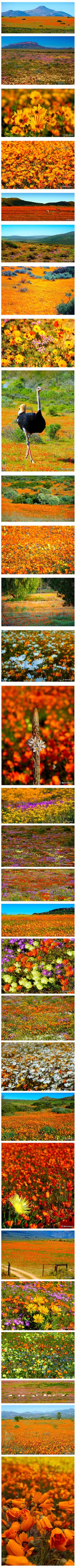 Namaqualand Daisies extend along South Africa's western coast for nearly 1 000 kilometres, for only a short time every year. Photographs: Martin Heigan.