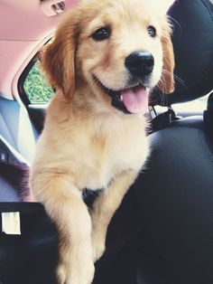 Golden Retriever puppy @KaufmannsPuppy