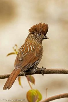 Striated Laughingthrush (Garrulax striatus) is a bird species in the Leiothrichidae family. It is found in the northern temperate regions of the Indian subcontinent and ranges across Bhutan, India, Myanmar, Tibet, and Nepal. Kinds Of Birds, All Birds, Love Birds, Exotic Birds, Colorful Birds, Pretty Birds, Beautiful Birds, Bird Pictures, Fauna