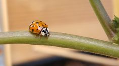 The Adorable Lady Beetles
