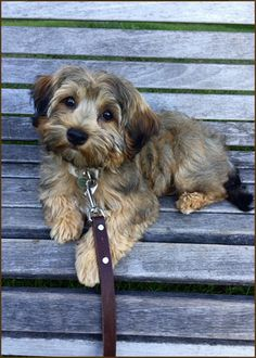 Dogs are said to be some of the best pets to keep. As a matter of fact, they are referred to as man's best friends. There are many breeds of dogs Havanese Grooming, Havanese Puppies, Cute Puppies, Most Beautiful Dog Breeds, Beautiful Dogs, Havanese Full Grown, Dog Mixes, Companion Dog, Little Dogs