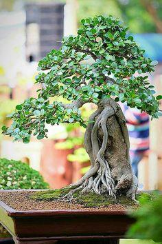 pin von foster ginger auf gardening bonsai trees penzai pinterest bonsai. Black Bedroom Furniture Sets. Home Design Ideas