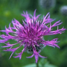 Greater Knapweed - 21.6.20 Large Plants, All Plants, Flower Patch, My Flower, Gerbera, Montana, Bachelor Buttons, Sea Holly, Black Eyed Susan