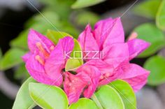 Bright Pink Flowers - Bright pink flowers with dark orange-pink centers, and petals that resemble leaves.