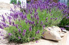 Starší levandule můžete zmladit. Provence Garden, Provence Lavender, Garden Landscape Design, Garden Landscaping, Flowers That Attract Butterflies, Lavender Bush, Garden Web, Composition Design, Garden Photos