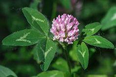 Jetel prospívá při cukrovce i lymfatických otocích Herb Garden, Home And Garden, Healing Herbs, Korn, Life Is Good, Detox, Diabetes, Health Fitness, Plants
