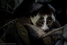 The cutest face in the forest: Saving The Slow Loris. Join Paul Williams Photographer and Filmmaker with the BBC Natural History Unit, on a journey into the forests of Indonesia for a closer look at the timid but charaismatic Slow Loris. The article and endearing images highlight the value of conservation and wildlife resuce efforts across the Indonesian Islands and inspire hope for saving this rare species.