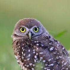 Owl Cat, Owl Bird, Pet Birds, Owl Photos, Owl Pictures, Beautiful Birds, Animals Beautiful, Cute Animals, Little Birds