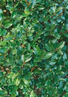 Monrovia's Blue Prince Holly details and information. Learn more about Monrovia plants and best practices for best possible plant performance. Monrovia Plants, Plant Catalogs, Dark Blue Green, Patio Plants, Evergreen Shrubs, Hedges, Perennials, Plant Leaves, Prince