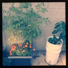 2 5-gallon buckets and a length of PVC pipe drilled with holes make a great self-watering container for heavy-watering plants... and marigolds help with pest control.