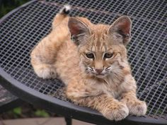 Baby Bobcats Super Common And Super Cute