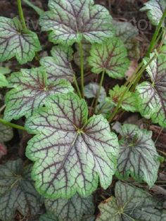 Coral Bells: An introduction to Heuchera cultivars