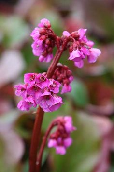 Buy elephant's ears Bergenia cordifolia Purpurea - A robust plant for edging or groundcover: pot: Delivery by Crocus Herbaceous Border, Herbaceous Perennials, Landscaping Plants, Garden Plants, Garden Spaces, Partial Shade Flowers, Low Growing Shrubs, Winter Leaves, Flowers