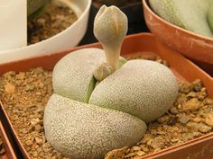 Pleiospilos nelli, a very popular plant.