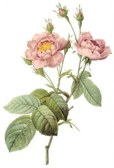 Redoute roses?