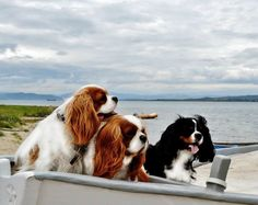 Happy Cavalier trio at the beach