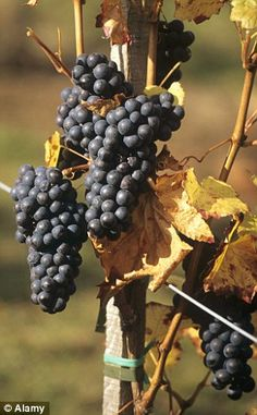 Resveratrol protects red grapes, cacao beans and Japanese knotweed against infections and drought