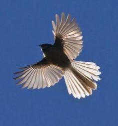 Image result for fantail flying