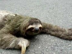 This sloth almost falls asleep while crossing the road. VIDEO - visit website to watch