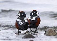A bird of fast-moving water, the Harlequin Duck breeds on fast-flowing streams and winters along rocky coastlines in the crashing surf.