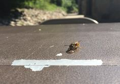 Bee drinking [3022x2127][OC]