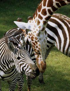 Thetouroperator Com Dallas Zoo Wild Safari Animals Buffalo Animal