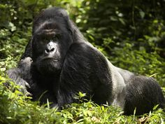 Mountain gorillas are being put at risk by multiple factors. They are suffering from Ebola, a disease that is wiping out large numbers. Hunters pick off many more gorillas every year. Their natural habitat is shrinking as well. Mountain gorillas have increased from a population of 620 in 1989 to about 880 right now.