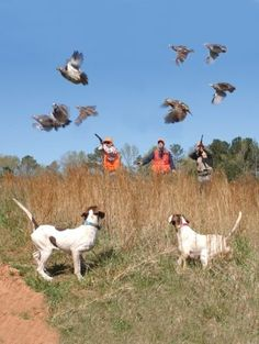 This is the official page of Gentleman Bobwhite, dedicated to the outdoor lifestyle and the pleasures of pursuing the gentleman of game birds: the bobwhite quail. Quail Hunting, Hunting Art, Hunting Dogs, Hunting Stuff, Black Labs Dogs, Hunting Pictures, Draw On Photos, Hunting Season, Mans Best Friend