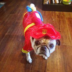 Fire Chief Pug
