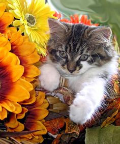 Cute Kitty Cat In Fall Autumn Colours With Gerbera Flowers