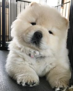 65 Baby Animals That Can Fill Your Heart With Joy Dogs chow chow puppy Fluffy Dogs, Fluffy Animals, Cute Dogs And Puppies, Baby Dogs, Doggies, Corgi Puppies, Alaskan Malamute Puppies, Puppies Tips, Yorkie Dogs