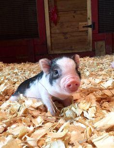 Oink, Oink, Mini Pigs!