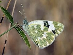 Sinappiperhonen, Pieris daplidice (Pontia daplidice) - Perhoset - LuontoPortti