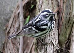 Seen in Grant Park (Chicago) May Black-and-white Warbler Note: they winter in Florida and Colombia and move to northern Wisconsin and Canada in summer. Shades Of White, Black And White, Types Of Forests, List Of Birds, Spring Birds, Bird Feathers, White Feathers, Wild Creatures, Bird Perch