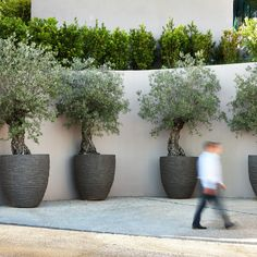 Growing Olive Trees In Pots Nz - Atelier Olive Trees Pots Courtyard In Indoor Olive Tree, Potted Olive Tree, Potted Trees, Outdoor Planters, Garden Planters, Outdoor Gardens, Growing Olive Trees, Pot Jardin, Mediterranean Garden