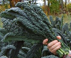 I have been growing cavolo nero (black kale) at Padstow Kitchen Garden for eight years and have noticed a huge increase in demand from the restaurants and shops I supply. Types Of Kale, Kale Plant, Dinosaur Kale, Growing Gardens, Kale Recipes, Organic Gardening, Vegetable Gardening, Grow Organic, Garden Signs