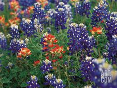 Paintbrush and Bluebonnets, Texas, USA--  by Dee Ann Pederson at Art.com