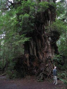 Cedar tree, Forks WA